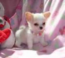 REGALO cachorros de chihuahua para navidad