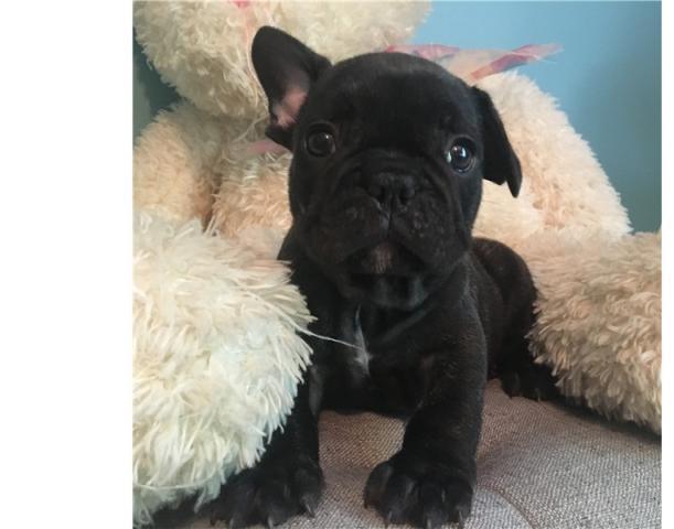 Bulldog Francés. Cachorros pura raza. Se entregan vacunados, desp