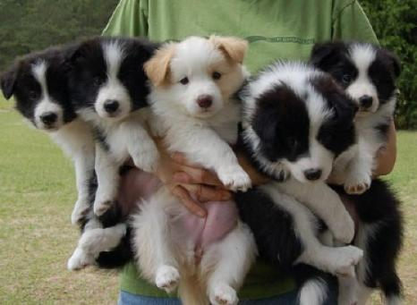 Regalo cachorros Border collie en Adopcion