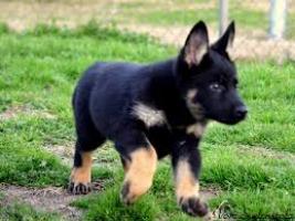 Regalo cachorros Pastor aleman en adopcion