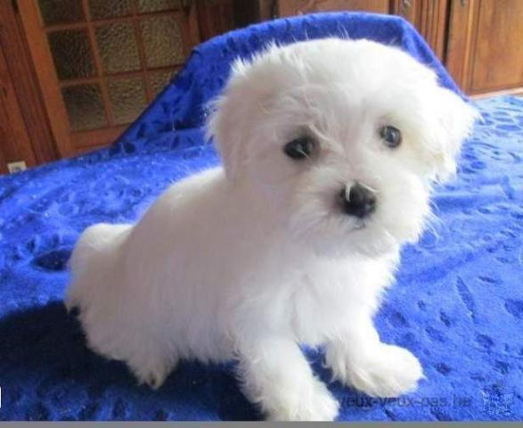 BICHON MALTES MINI TOY