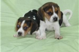 Cachorros de raza Beagle machos y hembras para
