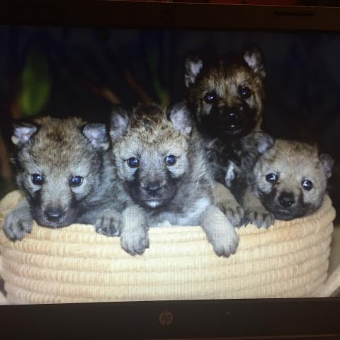 Venta Cachorros de Perro Lobo Checo