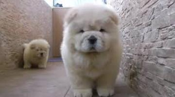 Adorable 3 Meses Chow Chow cachorros