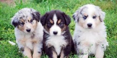 Cachorros de pastor australiano