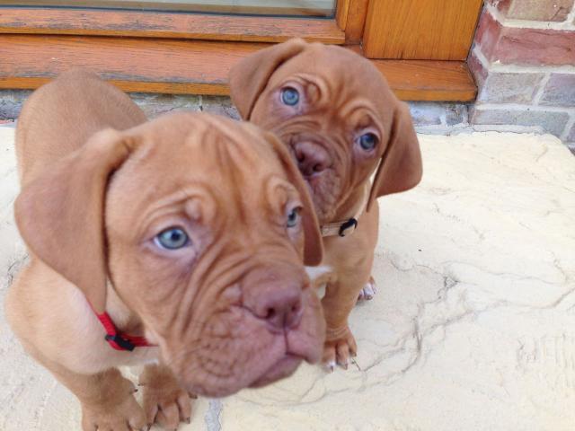 Dogue De Burdeos cachorros