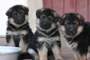 Rgalo cachorros Pastor aleman para adopcion