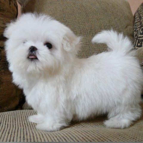 Miniatura cachorros Maltese para adopcion libre