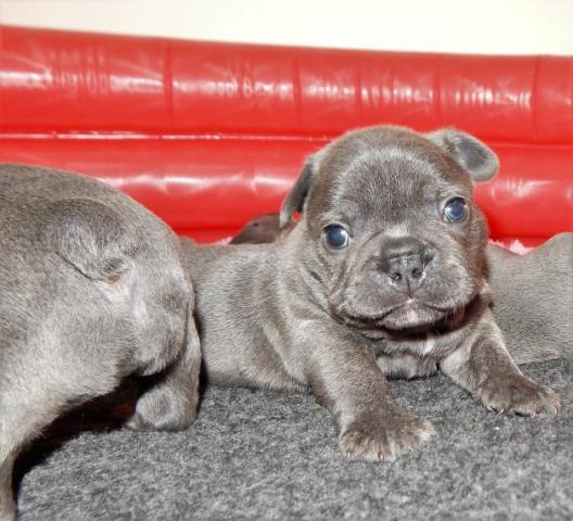 Calidad Bulldog Francés K.c Reg Amazing Chica y los chicos!
