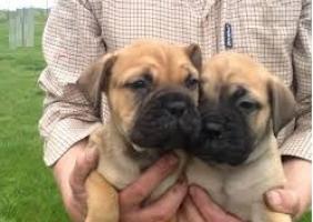 Rgalo cachorros Bull Mastiff para adopcion