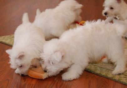 Regalo cachorros West Highland Terrier en adopcion