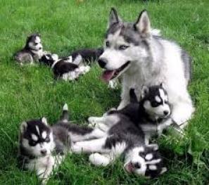 Regalo Los ojos azules cachorros husky siberiano