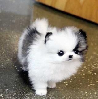 Regalo cachorros Pomerania para adopcion