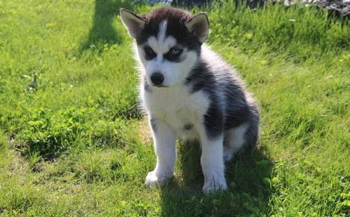 REGALO Siberian Husky cachorros