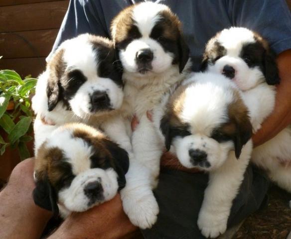 San Bernardo cachorros pura raza