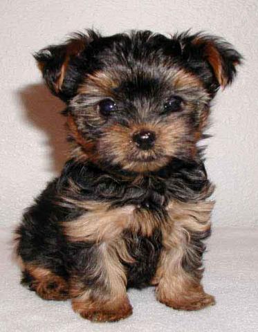 REGALO cachorros de yorkshire terrier para navidad