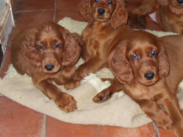 Excelentess cachorros de raza setter irlandes