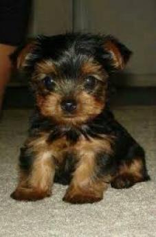 Regalo Cachorros macho y hembra Yorkshire terrier para adopción