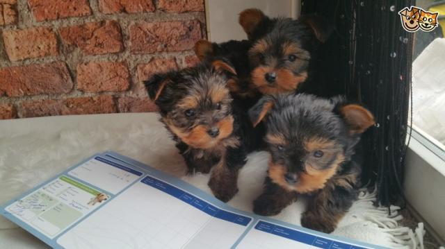 Regalo cachorritos de Yorkshire TERRIER.
