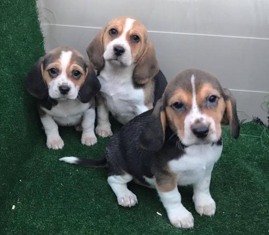 Beagles cachorros nacionales de color tricolor y bicolor