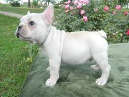 Cachorros bulldog francés, excelentes líneas de sangre.