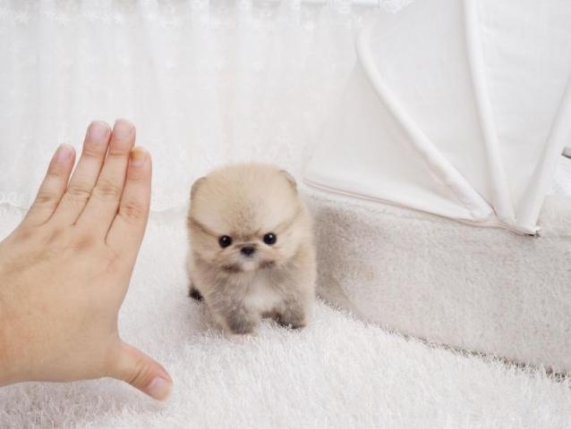 Regalo Juguete de tamaño lindo cachorros Pomerania