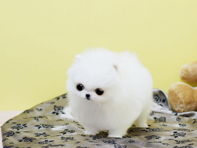 Regalo Pomerania Mini Toy Con LOE