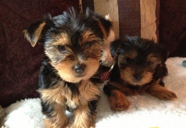 Regalo Yorkshire Terrier Mini