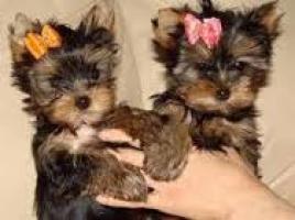 Cachorros yorkshire terrier toy