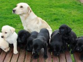 Labrador cachorros de calidad padres con LOE