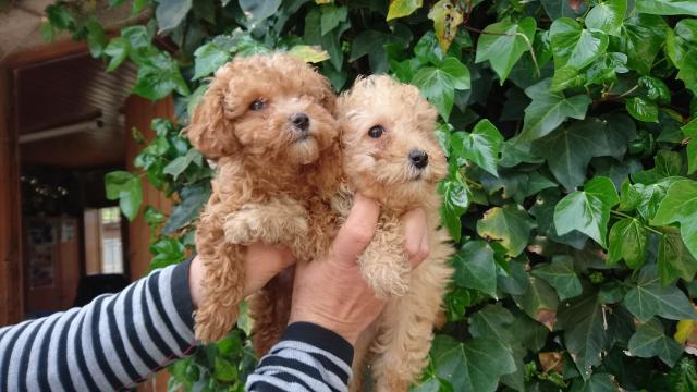 Preciosos cachorros Caniche de excelente genética
