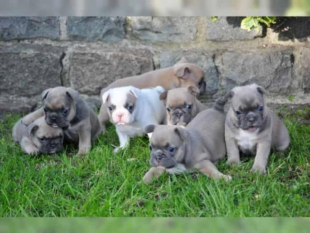 cachorro de bulldog francés para