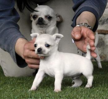 Regalo Los cachorros TEACUP AKC Chihuahua