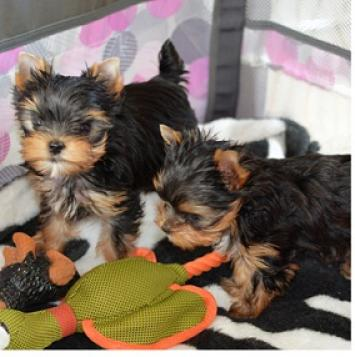 Regalo Akc Yorkshire Terrier (Yorkie) Cachorros