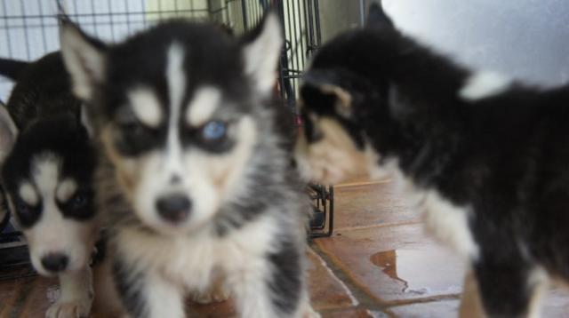 Kc registrados Blue Eyes Los cachorros Husky siberiano