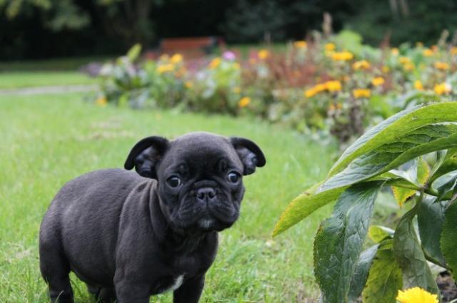 Los cachorros de calidad altos Blue Gene Frenchy Venta