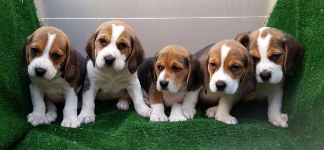 Beagles cachorros en adopción.