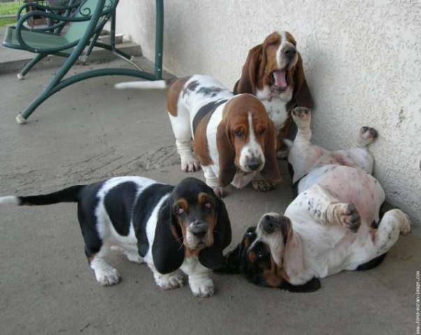cachorros de raza basset hound de calidad excelente