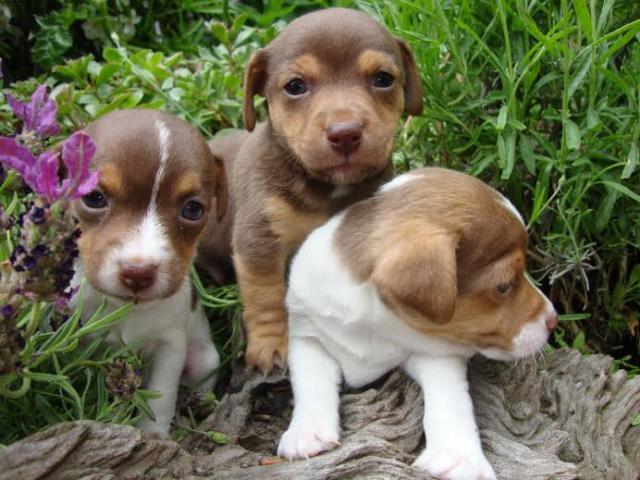 Preciosos cachorros de Jack Russell de forma gratuita