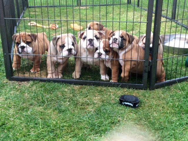 preciosos cachorros de raza bulldog ingles