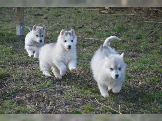 Regalo Los cachorros Siberian Husky Disponible