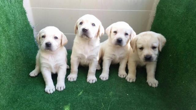 Labradores impresionante camada de color dorado...