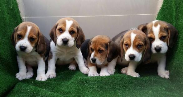 Beagle preciosa camada en oferta ! de color tricolor.