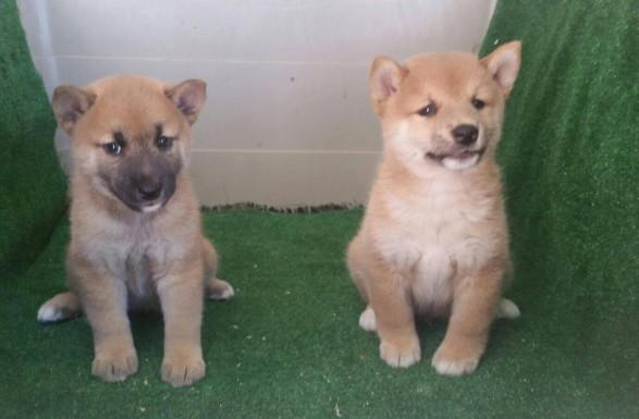 Shiba Inu camada de cachorros nacionales de color rojo.