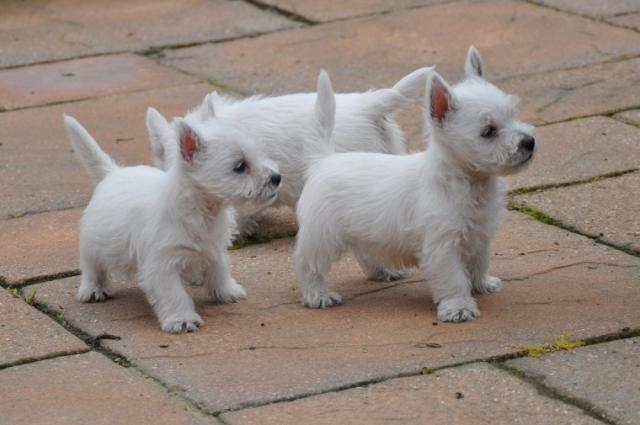 HERMOSOS WESTY TERRIER
