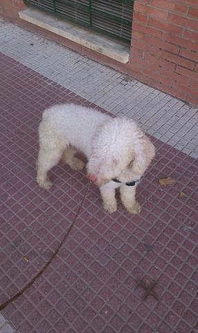 Vendo perro de agua en 70 euro cada 1