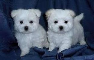 Regalo cachorritos de Bichon Maltes.