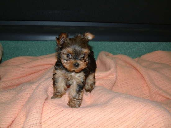 Regalo Espectacular Yorkshire terrier micro toy