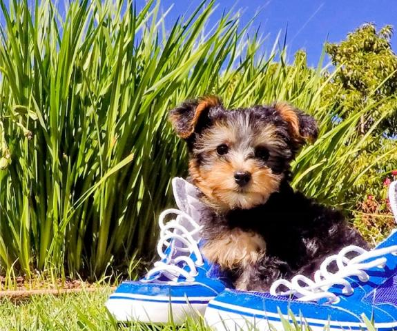 Gorgeous Yorkie cachorros diminutos para su aprobación.