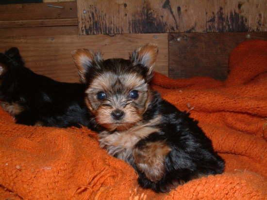 Regalo AKC Yorkshire Terrier (Yorkie) cachorros